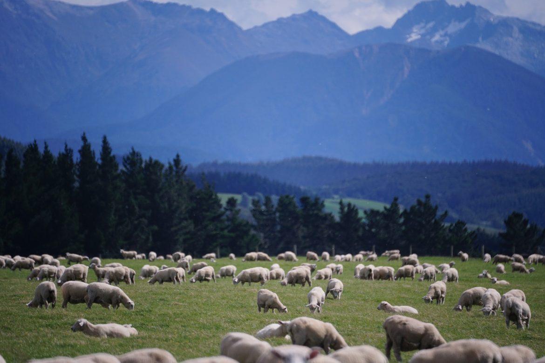 sheep-1766722_1280