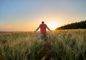 Male hand moving over wheat growing on the field. Field of ripe grain and mans hand touching wheat in summer field. Man walking through wheat field, touching wheat spikes at sunset