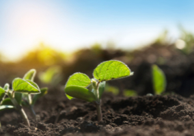 Small sprouts of a soybean plant grow in rows on an agricultural field. Young soy crops during the period of active growth. The plant reaches for the sun.